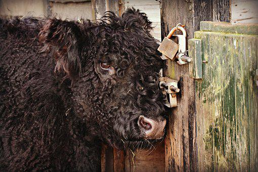 Scottish Highlander, Cow, Animal, Breed, Scotland