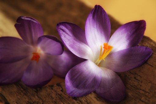 Crocus, Purple, Close Up, Bloom, Spring, February