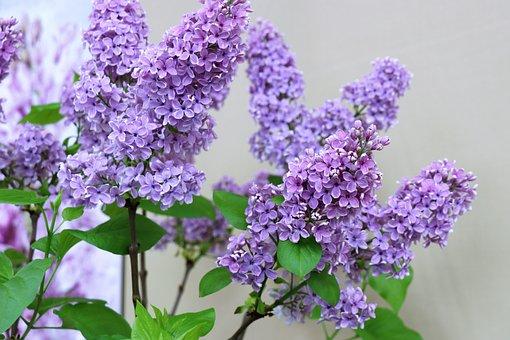 Lilac, Spring, Flowers, Flower, Purple, Flora, Nature