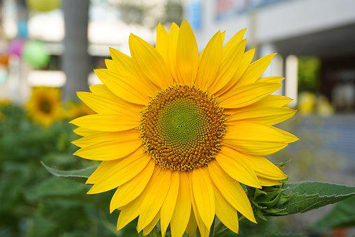 Sunflowers, Ho Chi Minh City, Spring Times, Vietnam