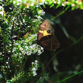 Butterfly, Insect, Tisiphone Abeona, Sword Grass Brown