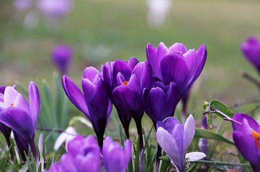 Violet, Krokus, Garden, Closeup, Blooming, March, Plant