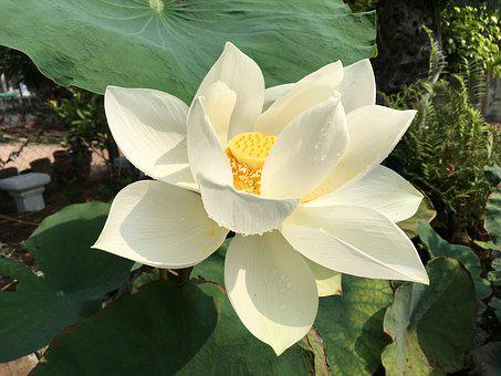 Lotus, White, Flower, Pond, Blossom, Bloom, Water, Lily