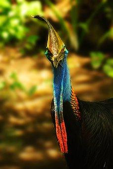 Cassowary, Bird, Nature, Animal, Beak, Wildlife, Wild