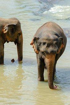 Elephant, Asian Elephant, Sri Lankan Elephant, Animal