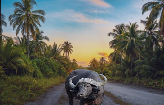 Buffalo, Village, Asia, Nature, Cattle, Animal, Farmer