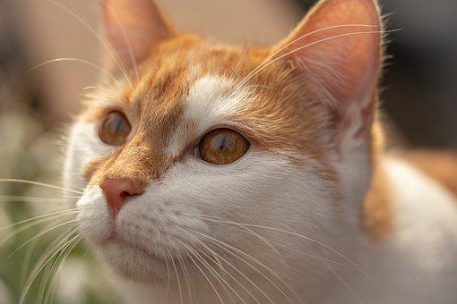Cat, Animal, Domestic Cat, Head, Animal Portrait