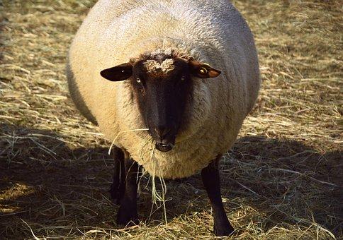 Sheep, Animal, Livestock, Wool, Sheep's Wool, Cattle
