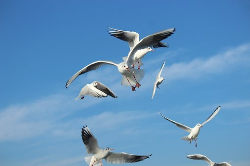 Seagull, Gulls, Fight, Herd, Animal, Animals, Marine