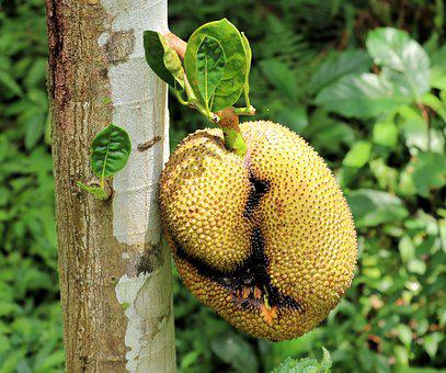 Jackfruit, Fruit, Tree, Meat Substitute, Bali