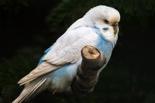 Budgie, Blue, Plumage, Parakeet, Sit, Bird, Bill