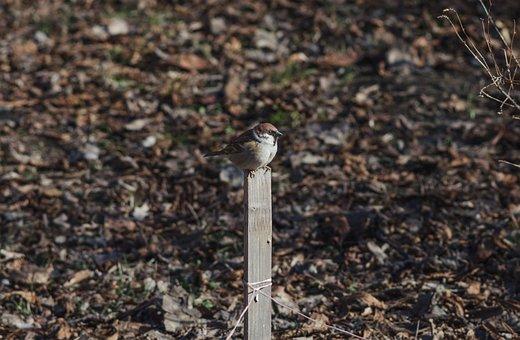 Sparrow, Desk, Bird, Birdie, Spring