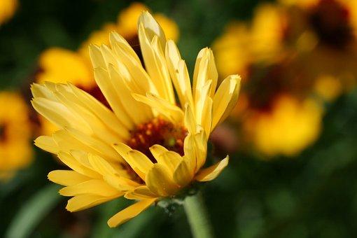 Calendula, Perennial, Blooming, Flower, Garden, Yellow