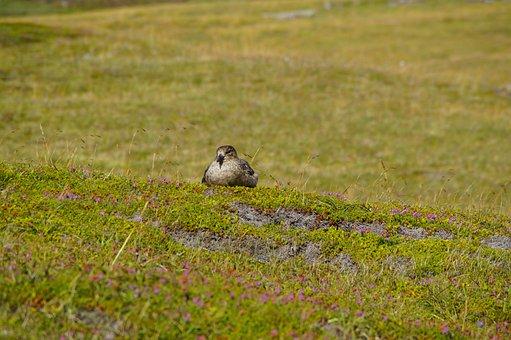 Skua, Handa, Handa Island, Breed, Scotland