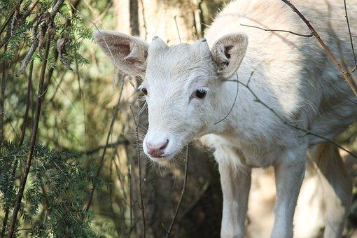 Roe Deer, White, Albino, Capreolus Capreolus, Nature