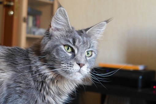 Maine Coon, Cat, Breed, Kitten, Mainecoon, Grey