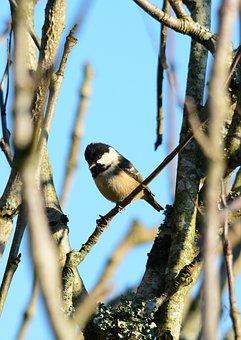 Coal Tit, Bird, Nature, Feather, Wildlife, Outdoors