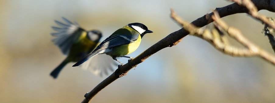 Coal Tits, Nature, Feather, Wildlife, Birds, Outdoors