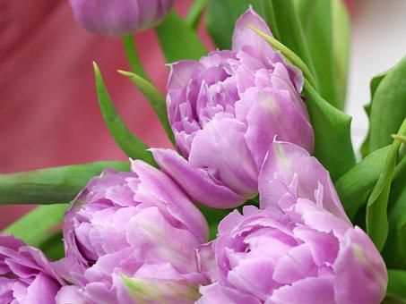 Tulips, Tulip, Spring, Flowers, Congratulation, Holiday