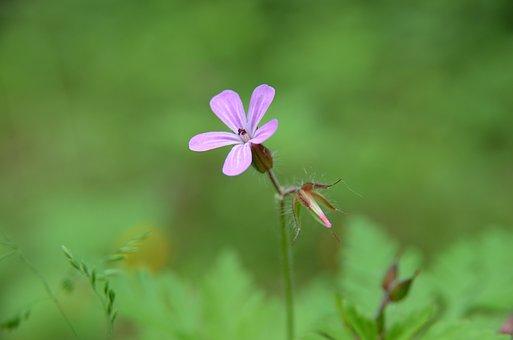 Cranesbill, Blossom, Bloom, Flower, Nature, Close Up