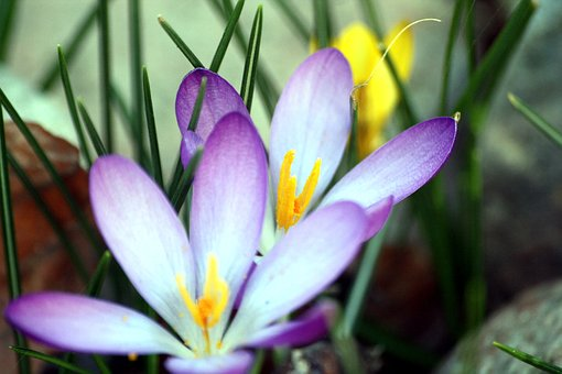 Colorful, Spring, Crocus, Flowers, Walk In The Park, Hh