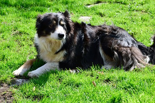 Dog, Collie, Pet, Animal, Purebred Dog, Cute