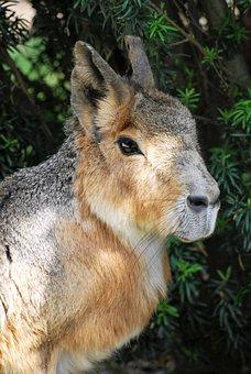 Pampashase, Mara, Zoo, Rodents, Dolichotinae, Rabbit