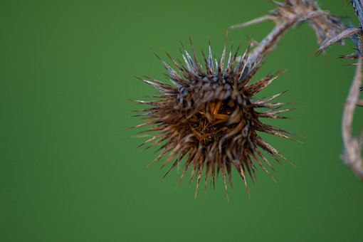 Thistle, Dry Flower, Thorny, Plant