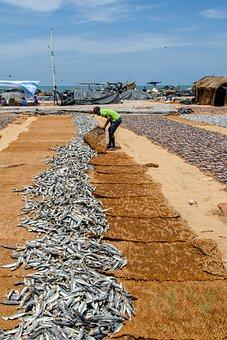 Fish, Dried Fish, Sardines, Asia, Fishing, Drying