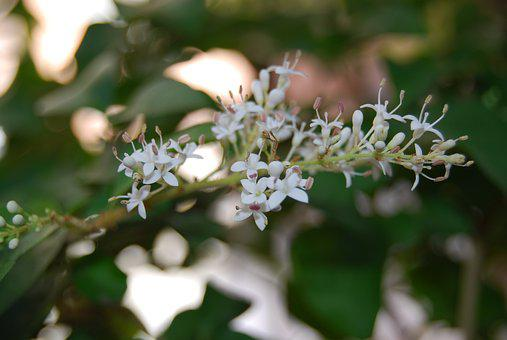 Ligustrum Japonicum, Privet, Flower, Bonsai