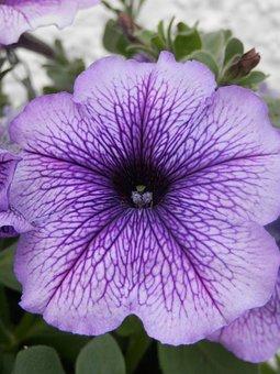 Surfinia, Flower, Bloom, Plant, Summer, Purple, Garden