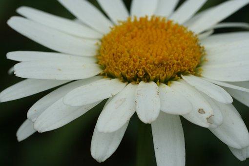 Shasta Daisy, White, Perennial, Garden, Flower, Nature