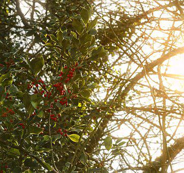Holly, Nature, Berries, Christmas, Plants, Decorative