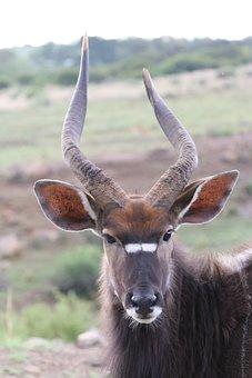 Nyala, Antelope, Males, Horns, Bock, Mammal, Africa