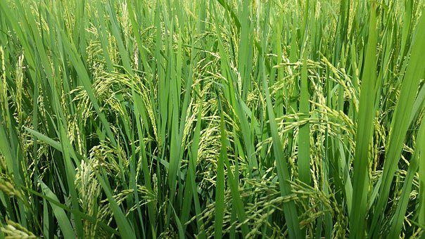 Paddy, Field, Green, Rice, Landscape, Nature, Asia