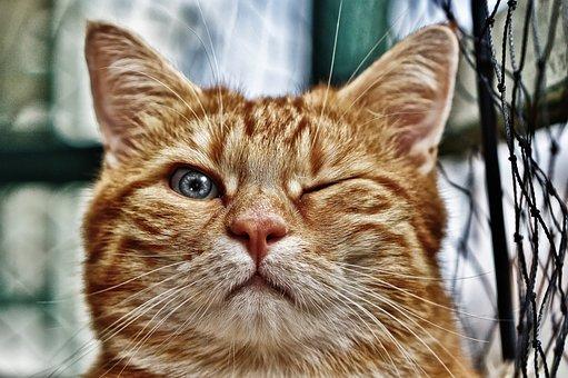Wink, Funny, Cat, Mackerel, Red, Pet, Domestic Cat