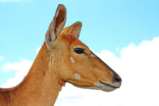 Nyala, Antelope, Female, Mammal, Africa, Animal, Nature