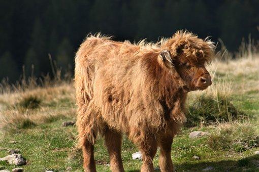 Beef, Mountain, Ruminant, Meadow, Landscape, Graze