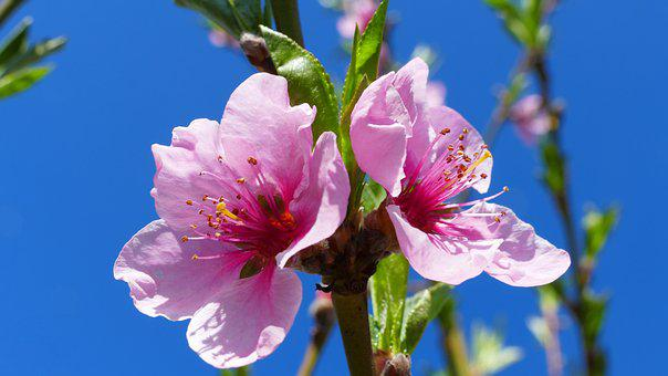 Flower, Peach, Spring, Nature, Pink, Flowers, Plant