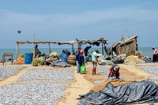Fish, Dried Fish, Sardines, Asia, Drying, Negombo