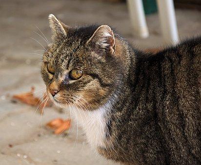 Domestic Cat, Animal Portrait, Cat, Mammal, Pet