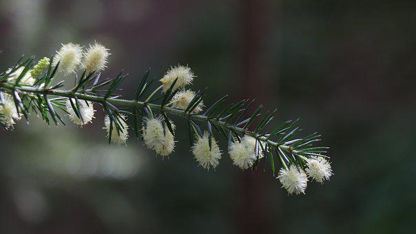 Branch, Needles, Green, Conifer, Spruce, Plant, Pine