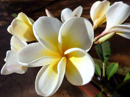Frangipani, Flower, Plumeria, Doik-champa, Yellow