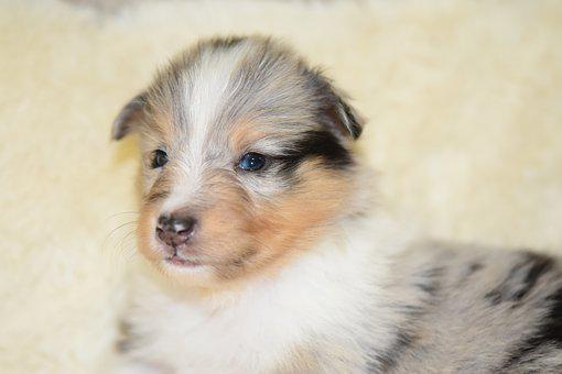 Puppy, Puppy Shetland Sheepdog, Portrait, Animal, Soft