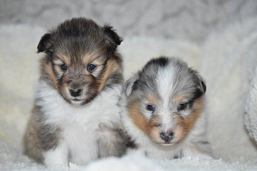 Puppies Shetland Sheepdog, Pup, Puppy Sitting