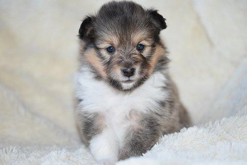 Puppy Shetland Sheepdog, Pup, Puppy Sitting