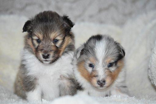 Puppies Shetland Sheepdog, Pup, Puppy Sitting