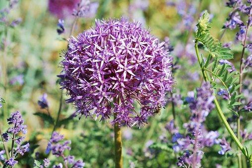 Flower, Ornamental Onion, Allium, Purple, Violet