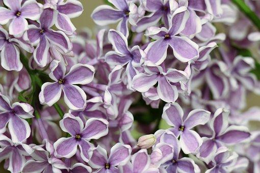 Lilac, Spring, Nature, Flowers, Flower, Bloom, Purple