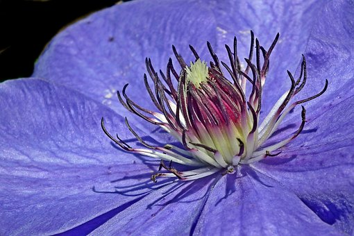 Clematis, Flower, Blue, Creeper, Garden, Nature, Spring